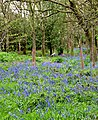 A carpet of blue - geograph.org.uk - 786566.jpg