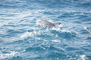 A dolphin in the India Ocean near Zanzibar