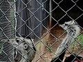 A ema (Rhea americana) apesar de possuir grandes asas, não voa. Utiliza suas asas para se equilibrar e mudar de direção na corrida. Tem a peculiaridade de serem os indivíduos masculinos os respons - panoramio.jpg