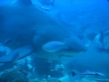 ไฟล์:A female Carcharhinus leucas at the Shark Reef Marine Reserve, Fiji - pone.0016597.s005.ogv