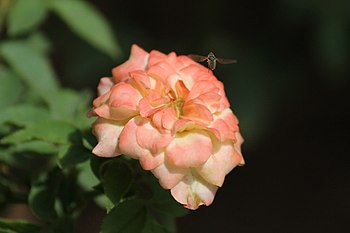 A fly around rose.jpg