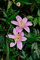 A pair of beautiful rosepink zephyr lily or pink rain lily in full bloom - Zephyranthes carinata.jpg