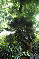 A palm tree at Gibberd Garden Essex England 02.JPG