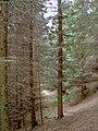 A path through Michael's Nook plantation - geograph.org.uk - 760311.jpg
