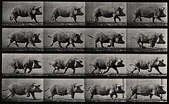 A pig running. Photogravure after Eadweard Muybridge, 1887. Wellcome V0048761.jpg