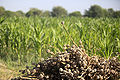 A pile of dried poppy plants sits in front of a fresh crop of sweet corn in the Nawa district of Helmand province.jpg
