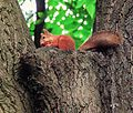 A squirrel in Gomel.jpg