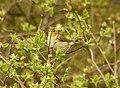 A warbler of some kind^ - geograph.org.uk - 438185.jpg