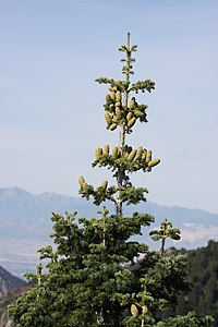 Abies concolor subsp. concolor crown.jpg