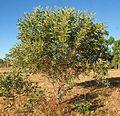 Acacia colei.jpg