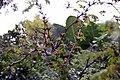 Acacia cornigera 6zz.jpg