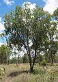 Acacia excelsa.jpg