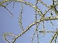 Acacia thorns.jpg