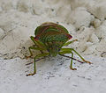 Acanthosoma haemorrhoidale (Stachelwanze) 001, ca 15 mm.jpg