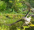 Accipiter nisus gaende goet.jpg