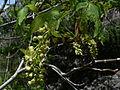 Acer macrophyllum 08667.JPG
