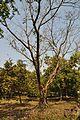 Acharya Jagadish Chandra Bose Indian Botanic Garden - Howrah 2011-01-08 9872.JPG