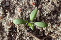 Achillea millefolium kz02.jpg