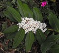 Acokanthera oblongifolia 2.jpg