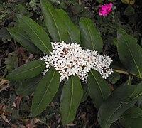 Acokanthera oblongifolia 2