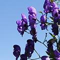 Aconitum sp.-IMG 5582.jpg