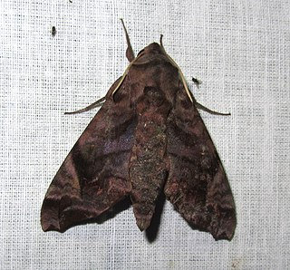 <i>Acosmeryx anceus</i> Species of moth