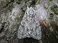Acronicta aceris (2940002282).jpg