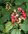 Actaea rubra 2015-06-20 3249.jpg
