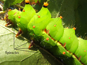 Spiracle - Indian moon moth (Actias selene) larva with some of the spiracles identified