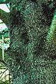 Adelges piceae 0795076.jpg