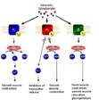 Adrenoceptor-Signal transduktion.PNG