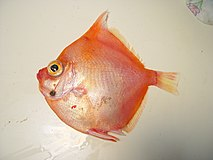 Adult boarfish (Antigonia capros).jpg