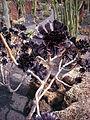Aeonium arboreum atropurppureum.jpg