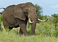 African Elephant (Loxodonta africana) coming too close (11492379736).jpg
