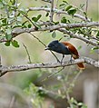 African Paradise Flycatcher (Terpsiphone viridis) female (32212605002).jpg