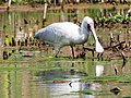 African Spoonbill (42940887760).jpg