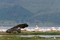 African buffaloes and Pelicans, Lake Nakuru National Park.jpg