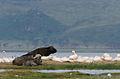 African buffaloes and Pelicans, Lake Nakuru National Park.jpg