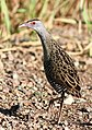 African crake, Crex egregia on the Zaagkuildrift Road near Kgomo Kgomo, Limpopo, South Africa (16282324136).jpg
