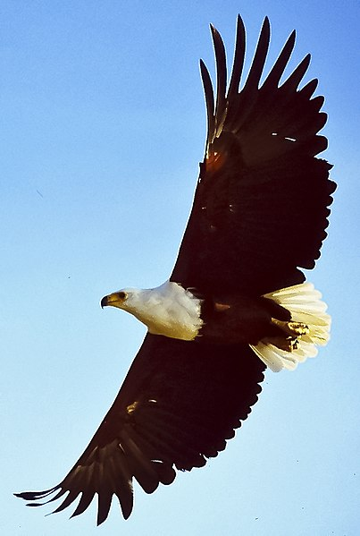 Fichier:African fish eagle flying cropped.jpg