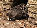 African porcupine, Hystrix cristata Pengo.jpg