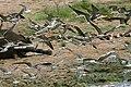 African skimmers.jpg