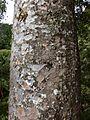 Agathis australis bark Waiau Kauri Grove Coromandel.JPG