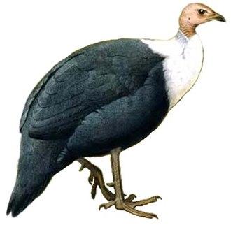 Guineafowl - Image: Agelastes meleagrides white background
