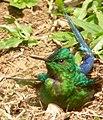 Aglaiocercus kingi (Silfo coliverde) - Macho - Flickr - Alejandro Bayer (3).jpg