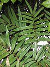 Akania bidwillii leaves.jpg