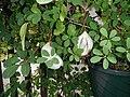 Akebia quinata (vine, fruits, flowers) 05.jpg