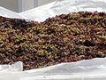 Akrotiri Grapes on Rooftop- Santorini.jpg