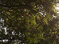 Albizia saman (Raintree) (3).jpg