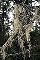 Alectoria sarmentosa (7954112468).jpg